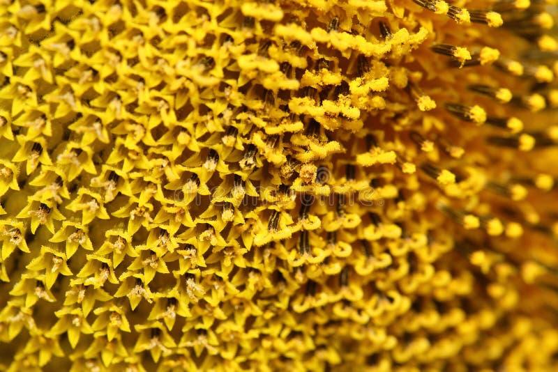 Fermez-vous vers le haut du tournesol de pollen photos libres de droits