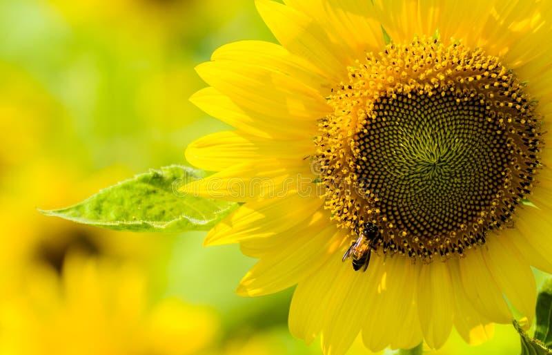 Fermez-vous vers le haut du tournesol et de l'abeille photos libres de droits