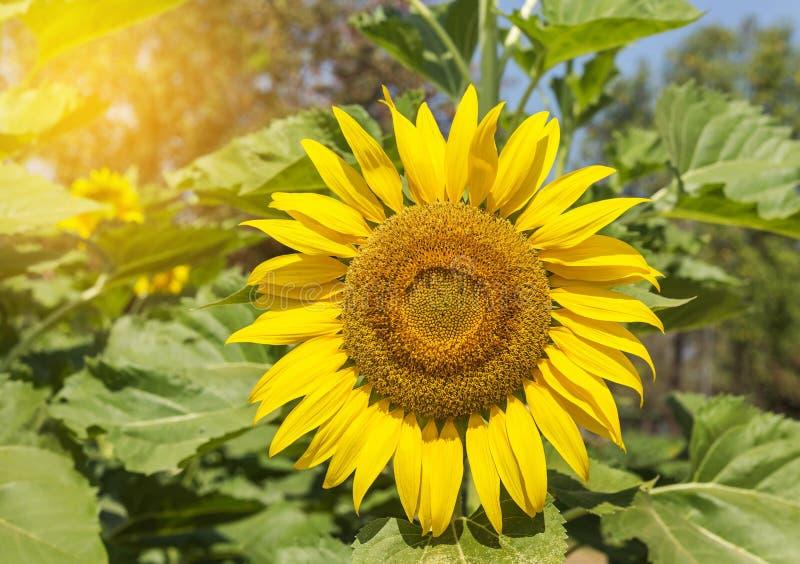 Fermez-vous vers le haut du tournesol fleurissant sur le champ photos libres de droits