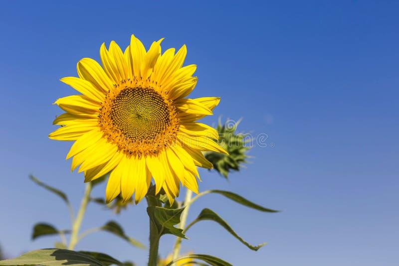 Fermez-vous vers le haut du tournesol fleurissant sur le champ avec le fond de ciel bleu photo libre de droits
