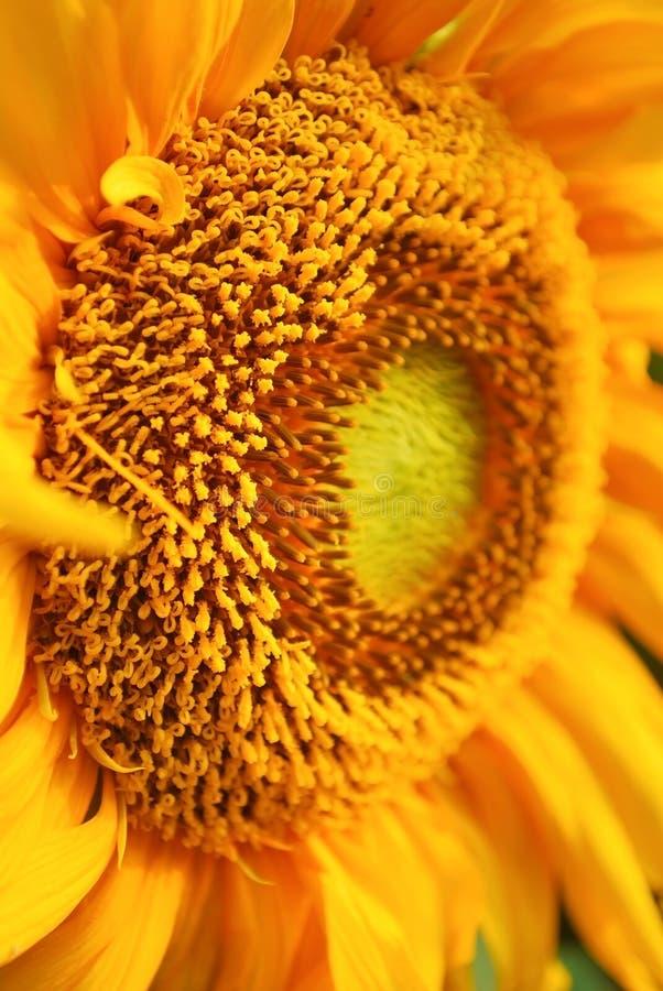 Fermez-vous vers le haut du tournesol vif de pollen images stock