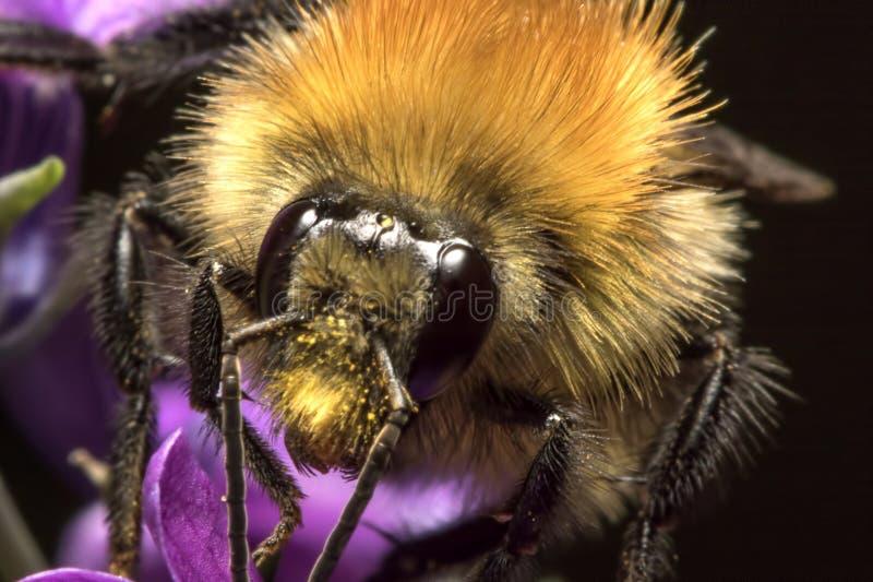 Fermez-vous vers le haut du visage d'abeille avec les antennes et le pollen image stock