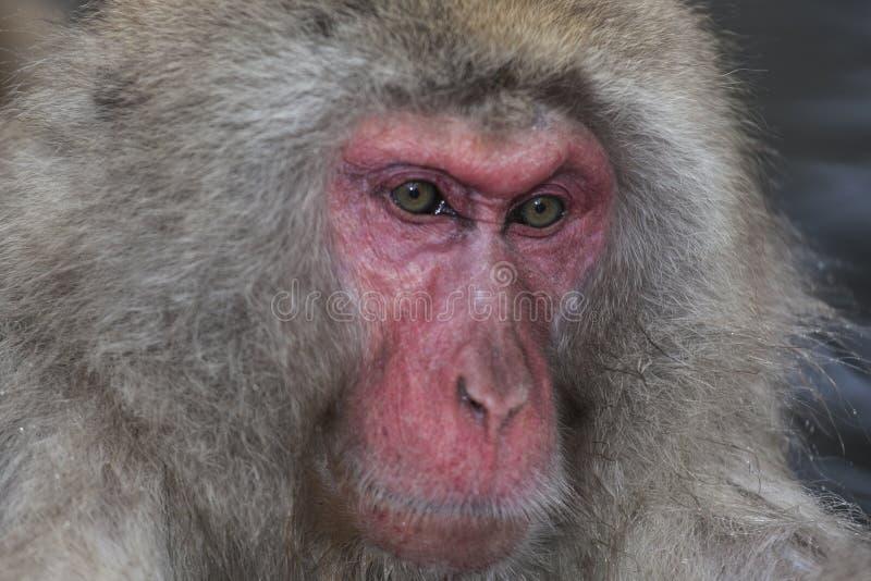 Fermez-vous vers le haut du visage du singe de neige photos libres de droits