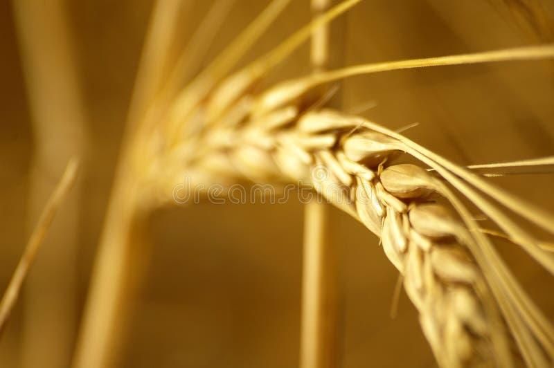 Fermez-vous vers le haut du wheatfield images stock