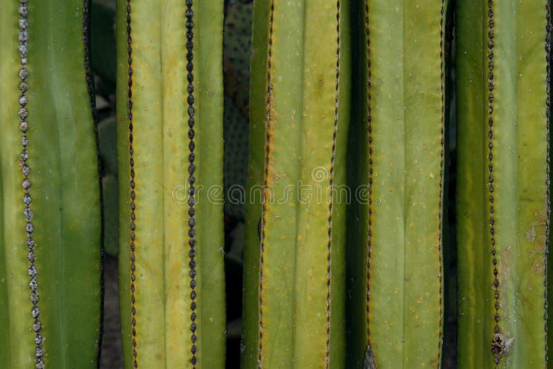 Fermez-vous vers le haut sur un mur de cactus photographie stock