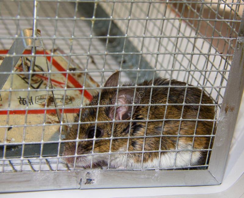 souris dans une maison elegant gerbille cage with souris dans une maison great aprs la maison. Black Bedroom Furniture Sets. Home Design Ideas