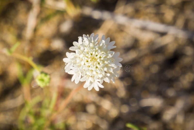 """Fermez-vous wildflower de fremontii de Chaenactis (Fremont \ du """"pelote à épingles de s ou pelote à épingles de désert), parc d'é photos libres de droits"""