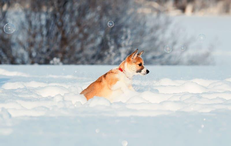 Fermi divertenti del Corgi rosso sveglio del cucciolo che luccicano le belle bolle del sapone nell'inverno Sunny Park deftly che  fotografie stock libere da diritti