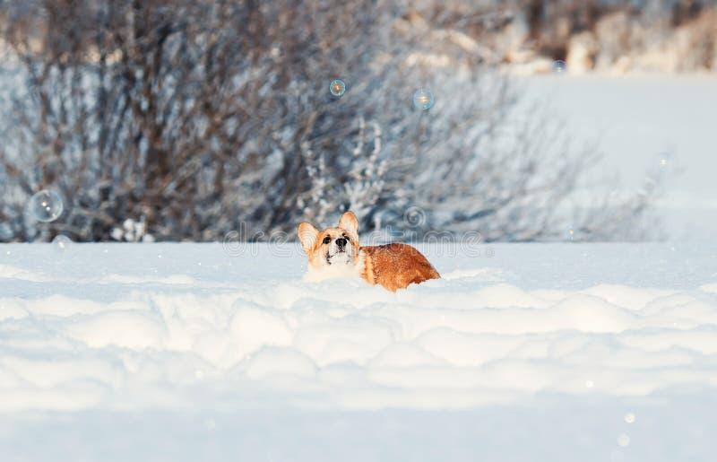 Fermi divertenti del Corgi rosso sveglio del cucciolo che luccicano le belle bolle del sapone in neve bianca nell'inverno Sunny P fotografia stock libera da diritti