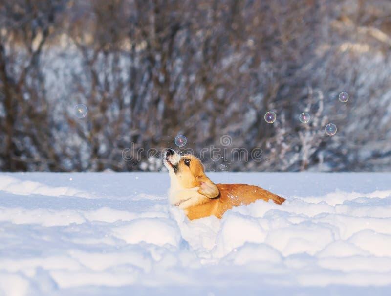 Fermi divertenti della testarossa del Corgi sveglio del cucciolo che luccicano le belle bolle del sapone che corrono nella neve b immagini stock