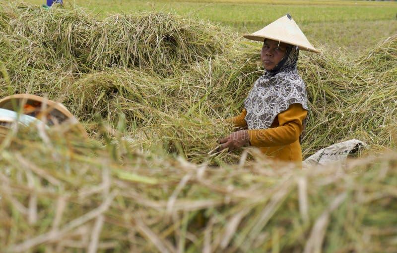 Download Fermier image éditorial. Image du indonésie, java, fermiers - 76078330