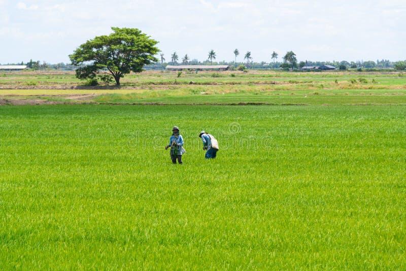Fermier dans le domaine de riz Fond vert de jeunes plantes de riz photos libres de droits