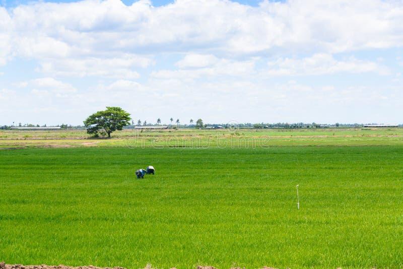 Fermier dans le domaine de riz Fond vert de jeunes plantes de riz photos stock