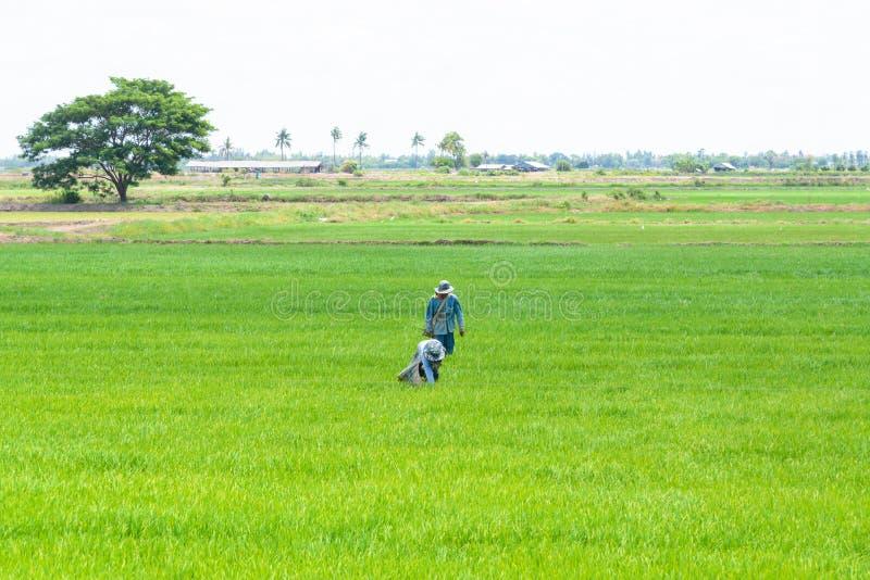 Fermier dans le domaine de riz Fond vert de jeunes plantes de riz image stock