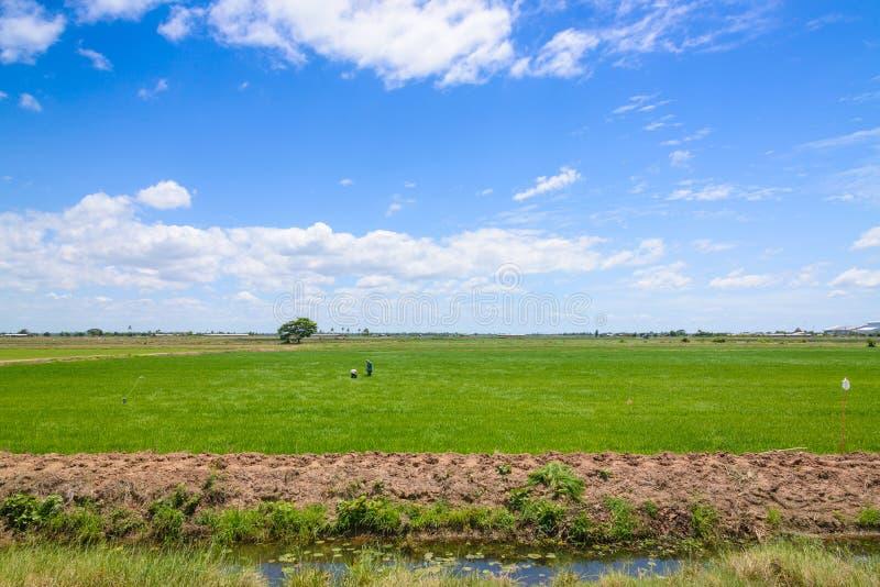 Fermier dans le domaine de riz Fond vert de jeunes plantes de riz image libre de droits