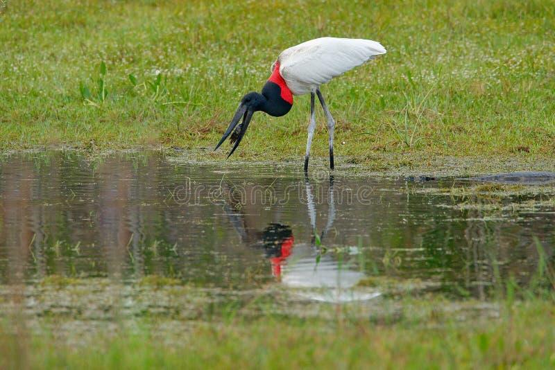 Fermo del jabiru il pesce nel piccolo lago dell'erba verde Fauna selvatica Brasile, uccello a marzo Jabiru, mycteria di Jabiru, i fotografia stock libera da diritti