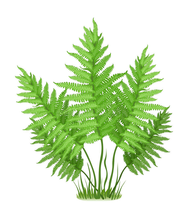 Fern. Plant of fern family on white background, vector illustration stock illustration