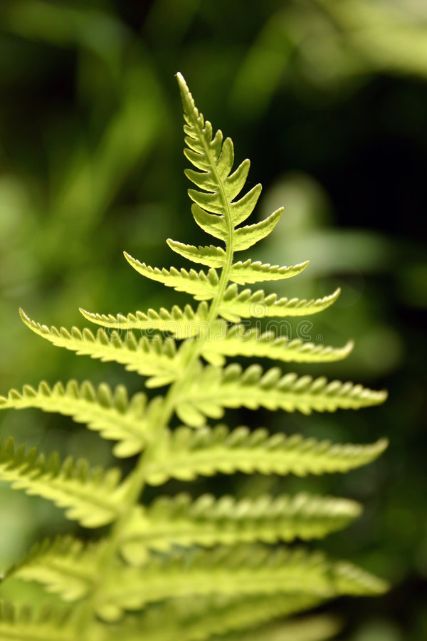 Fern. Detailed royalty free stock image