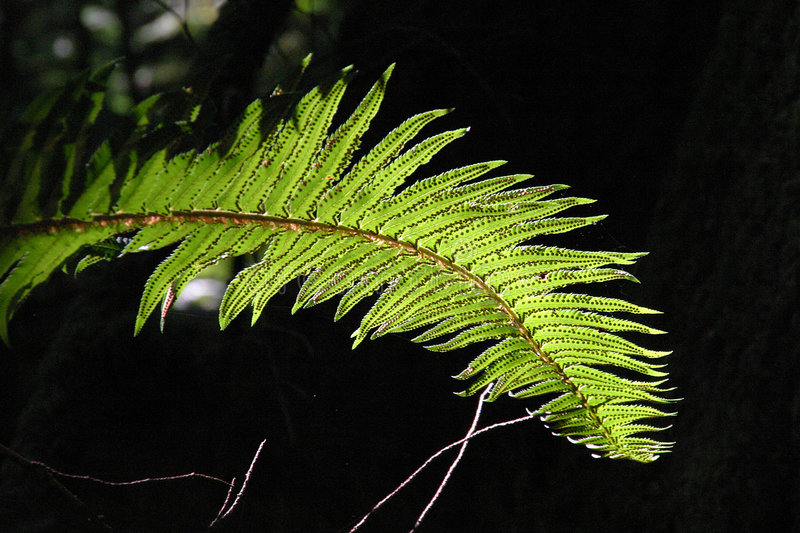 Fern. Detailed Fern in backlight condition stock photos