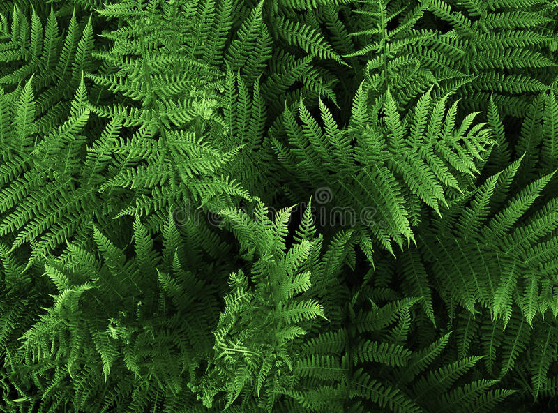 Download Fern stock photo. Image of nature, foliage, flora, floral - 13631422