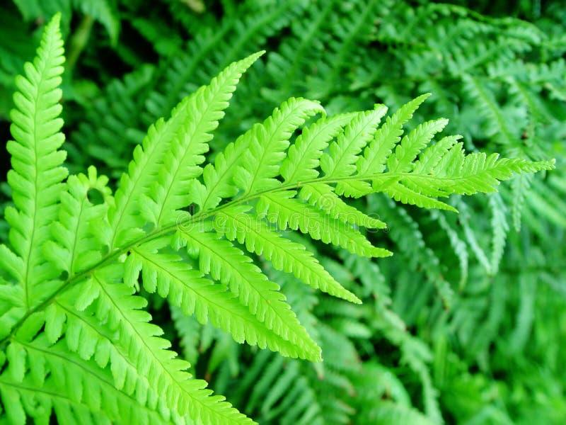 Download Fern stock photo. Image of fern, green, dark, leaves, fresh - 14214
