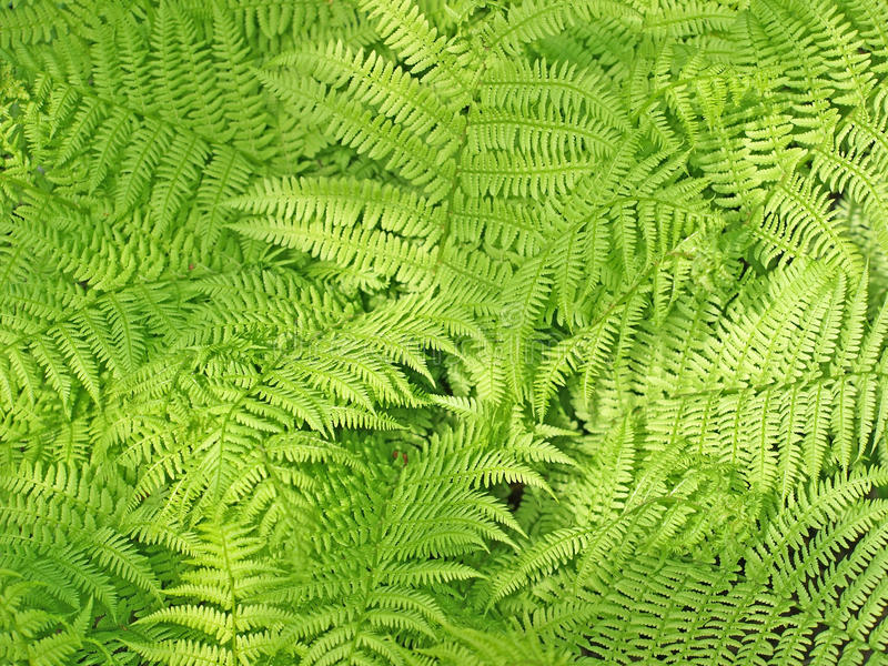 Download Fern stock image. Image of design, generic, trees, forest - 14438125