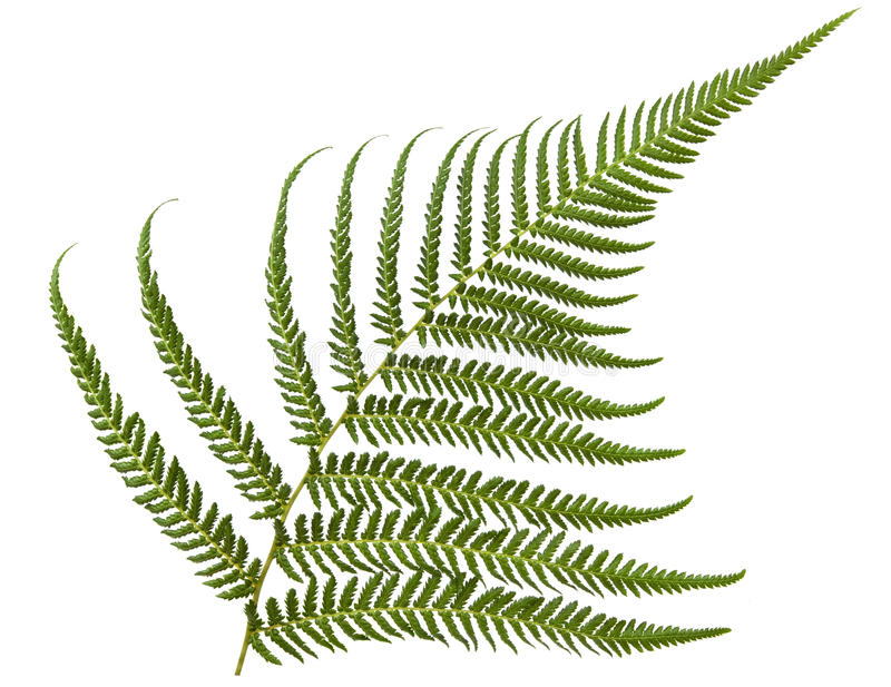 Download Fern stock image. Image of green, fern, nature, tree - 14861123