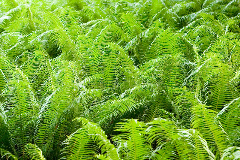 Download Fern stock photo. Image of green, background, woods, nature - 15954806