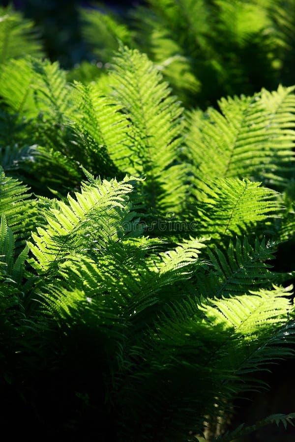 Download Fern stock photo. Image of foliage, bush, forest, leaf - 23732278