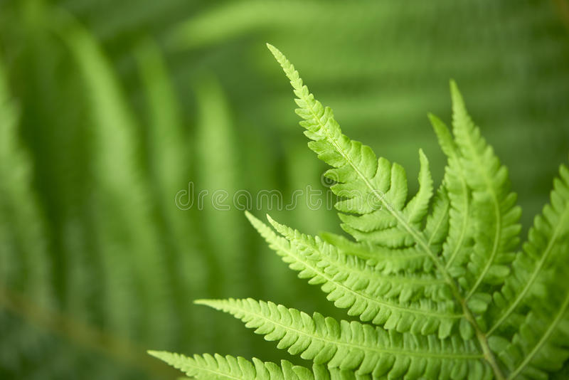 Download Fern stock image. Image of humid, natural, vibrant, conservation - 26100633