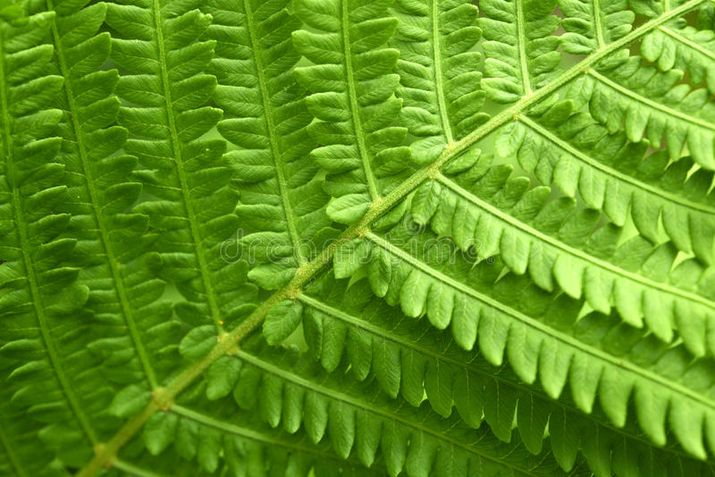 Download Fern Royalty Free Stock Photos - Image: 26811648