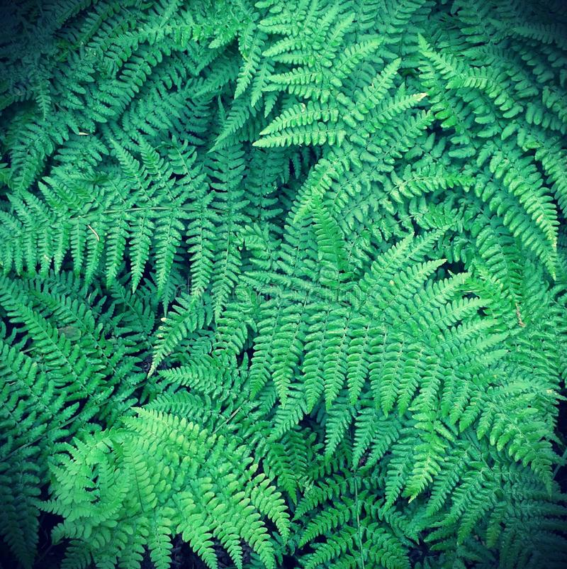 Download Fern stock photo. Image of fern, flora, vegetation, freshness - 27680960