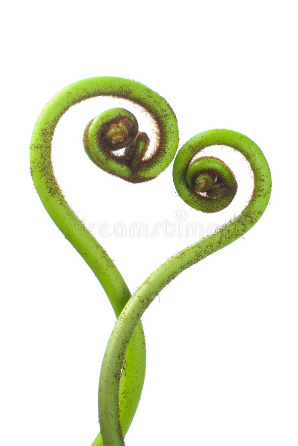 Fern. Love shape fern on white color background royalty free stock photo
