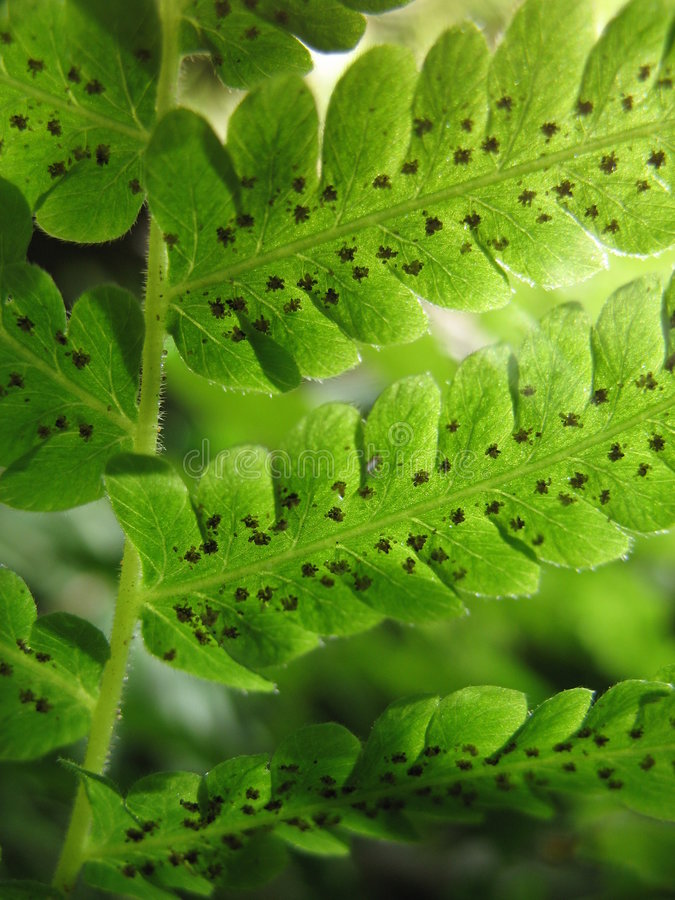 Fern. A detail of green fern royalty free stock image