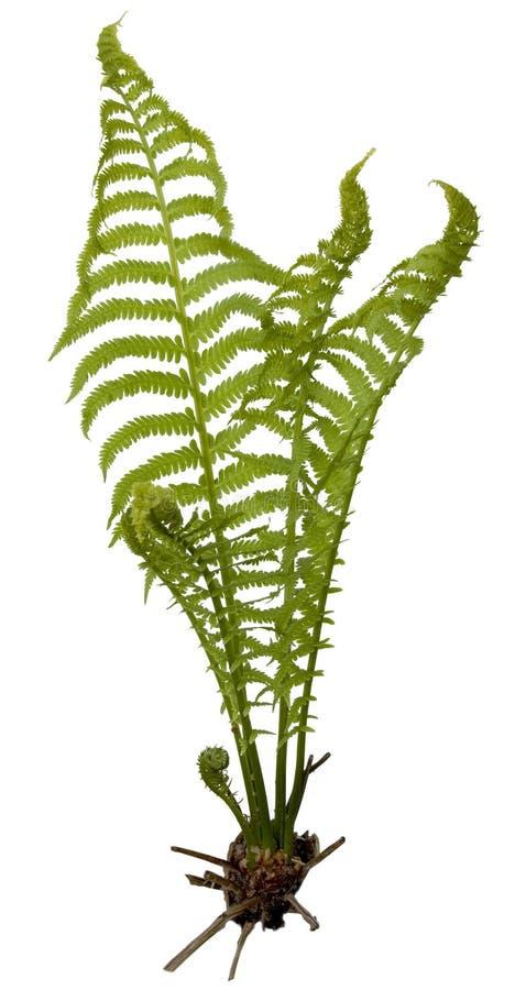 fern royaltyfri bild