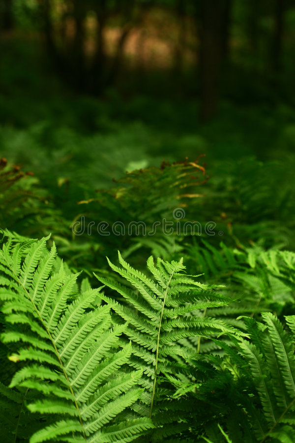 Fern. View of fern in a generic forest royalty free stock images