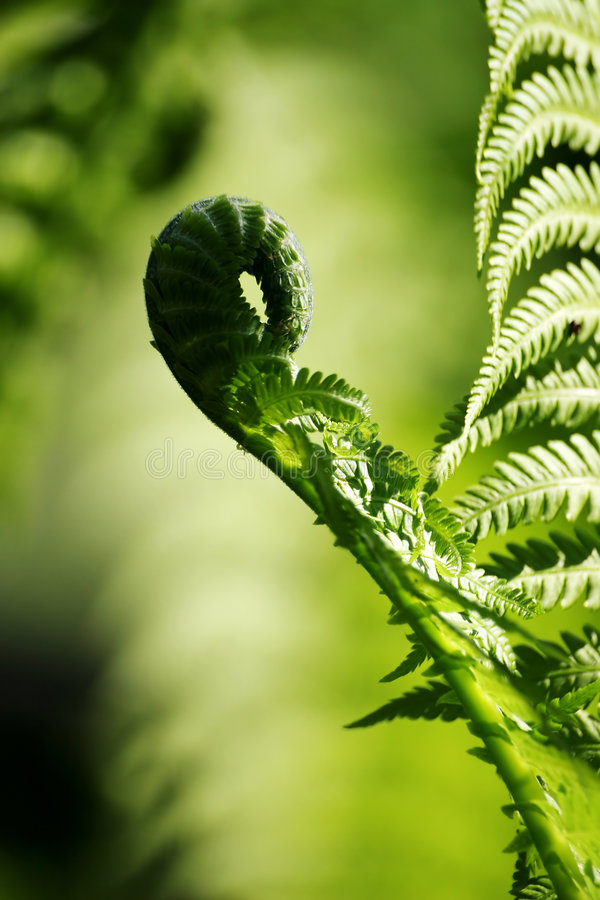 Fern. Leave of fern royalty free stock images