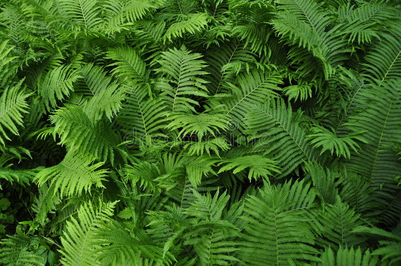 Download Fern stock photo. Image of plants, ornamental, outdoors - 9740342