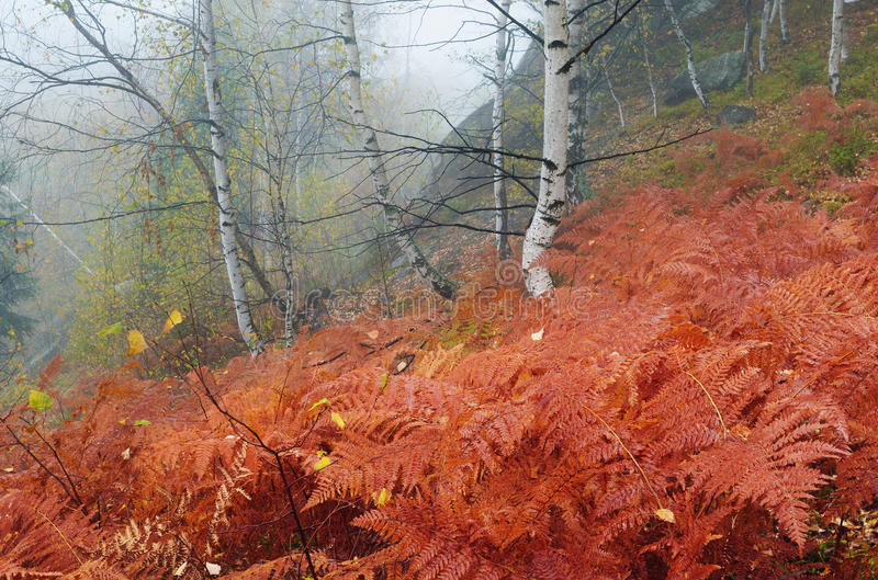 Fern in autumn forest royalty free stock photo