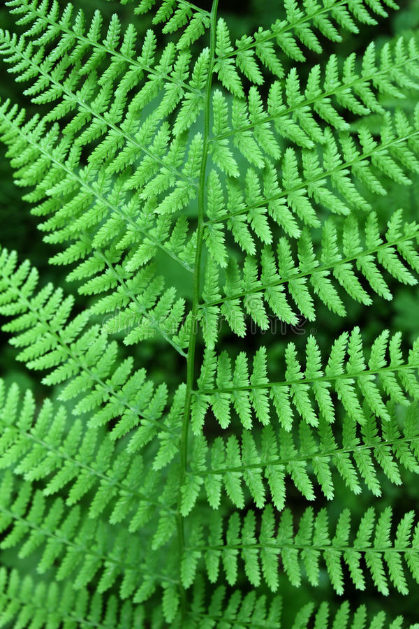 Download Fern background stock image. Image of bush, foliage, flora - 25496957