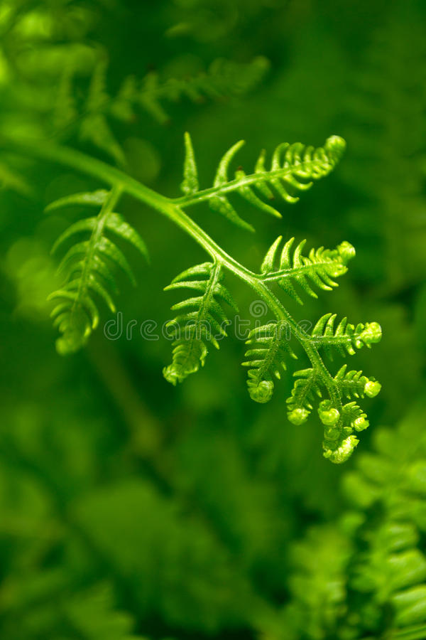 Download Fern background stock image. Image of nature, outdoor - 25542417
