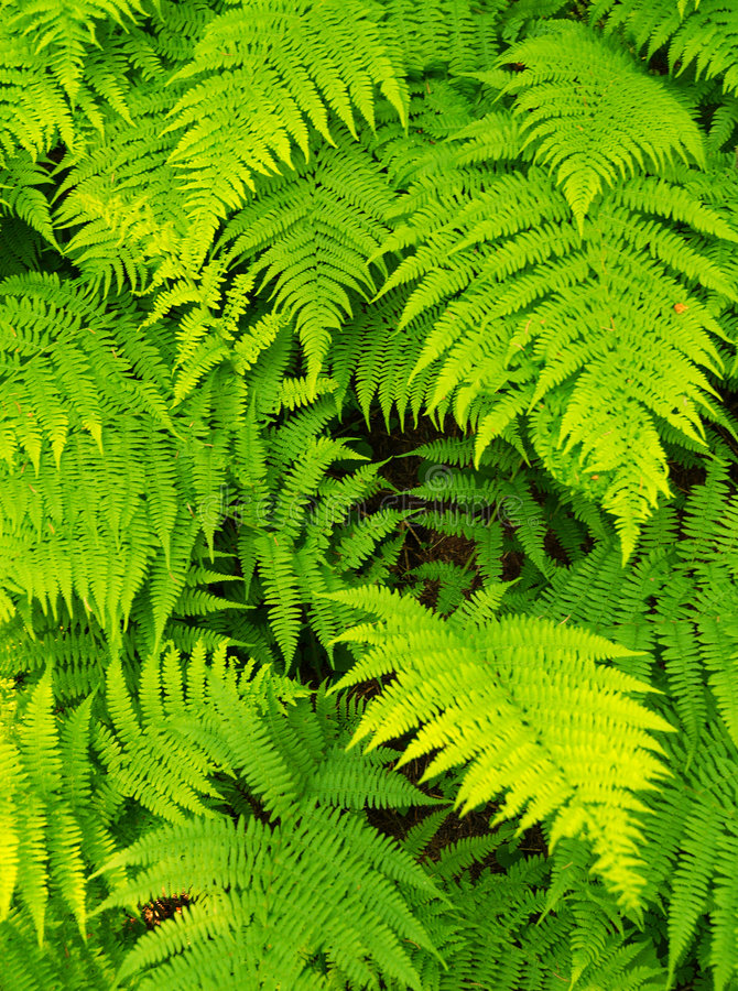 Fern background. Picture of a a green blooming fern background
