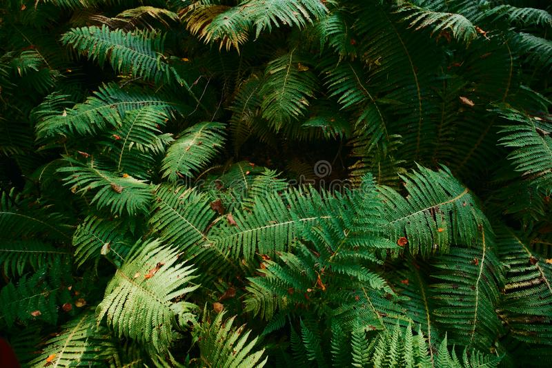 fern big leaves stock photo