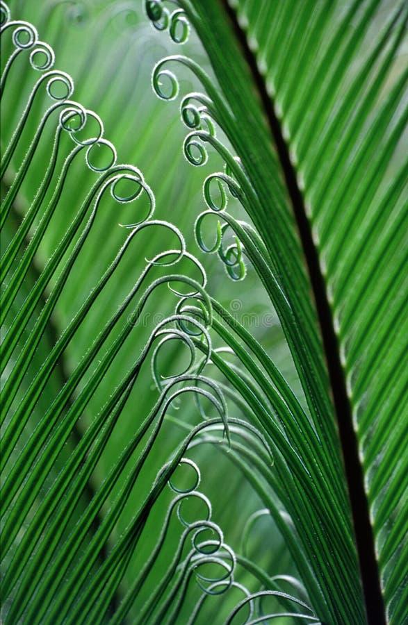 fern brazylijskie fotografia royalty free