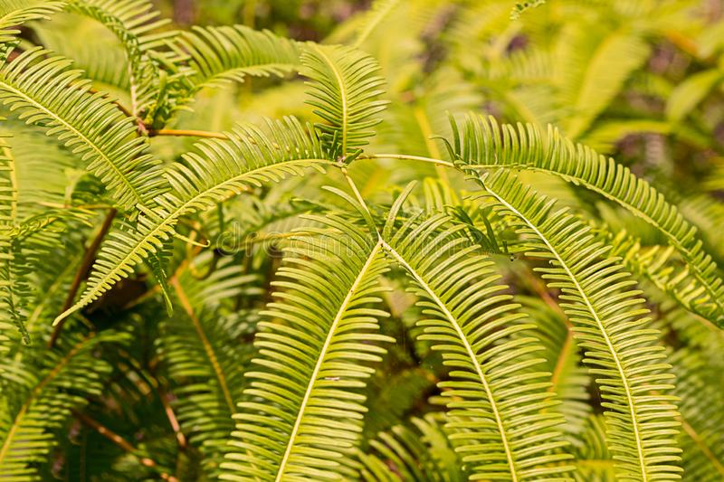 Fern bright green beautiful forest plant bush long sprouts lots of leaves sunny day fresh background royalty free stock photography