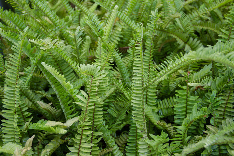 Fern. A CLOSE-UP OF GREEN Ferny background royalty free stock photo