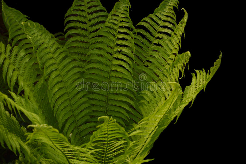 Fern cropped on black stock images