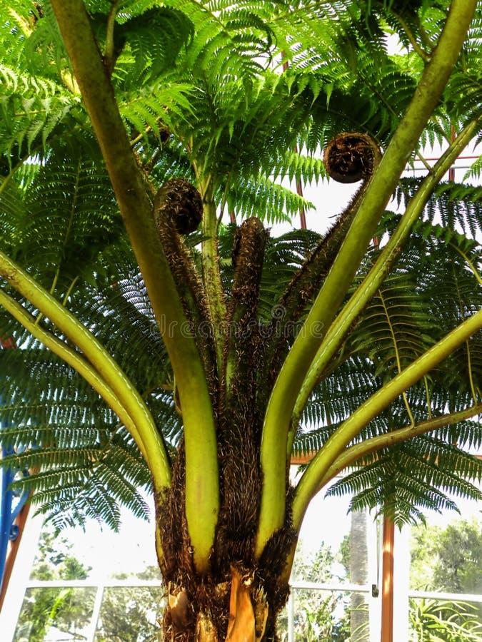 Fern de árvore australiano fotos de stock