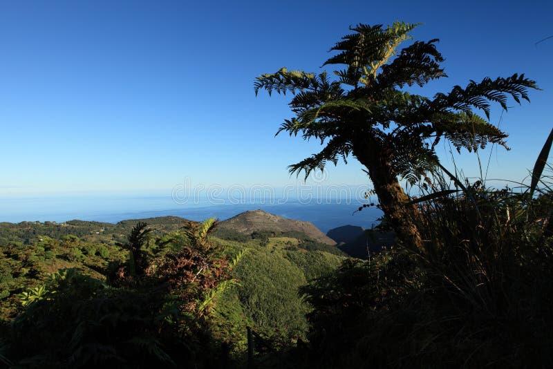 Fern de árvore endémico gigante no console remoto de St Helena fotografia de stock royalty free