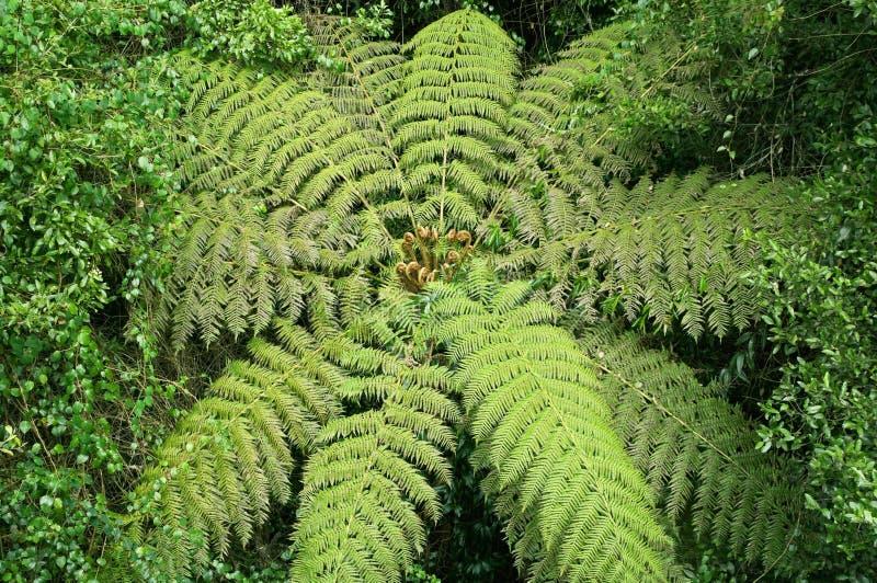 Fern de árvore na floresta húmida imagem de stock